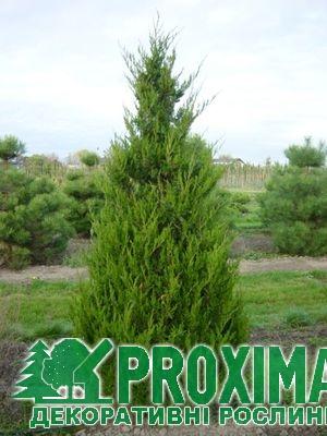 Ялівець китайський Спартан  br  Можжевельник китайский Спартан   br Juniperus chinensis Spartan Збільшити 6e9f6aa6f5060