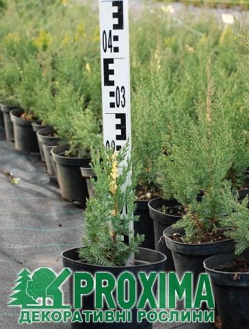 Ялівець китайський Стрикта Варієгата Juniperus chinensis Stricta ... a20e7edd0ef67