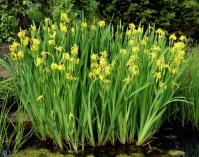 Ірис жовтий / ірис помилковоаїровий<br>Iris pseudacorus <br>Ирис желтый / Ирис ложноаировый