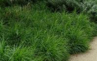 Осока пальмовидна <br> Осока пальмовидная <br> Carex muskingumensis