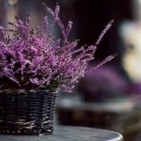 Верес звичайний Фрозен<br>Вереск обыкновенный Фрозен<br>Calluna vulgaris Frozen