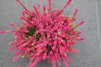 Верес звичайний Дарк Б'юті<br>Calluna vulgaris Dark Beauty <br>Вереск обыкновенный Дарк Бьюти