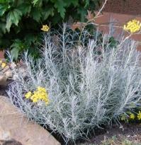 Безсмертник піщаний / Цмин<br>Helichrysum arenarium<br>Бессмертник песчаный / Цмин