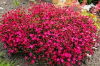 Гвоздика дельтоподібна Діамант<br>Dianthus deltoides Brilliant<br>Гвоздика травянка Бриллиант