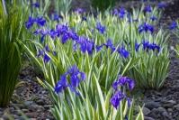Ірис щетинистий Варієгата / Півники<br>Iris setosa Variegata<br>Ирис щетинистый Вариегата / Касатик / Петушки
