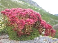 Молодило гірське<br>Sempervivum montanum<br>Молодило горное