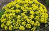Очиток квітконосний Вейхенстефанер Голд<br>Sedum floriferum Weihenstephaner Gold<br>Очиток цветоносный Вейхенстефанер Голд