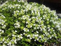 Чебрець звичайний Альба / Тим'ян<br>Thymus vulgaris Alba<br>Тимьян обыкновенный Альба / Чабрец