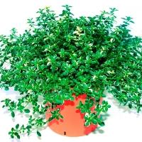 Чебрець лимонний Раста / Тим'ян<br>Thymus citriodorus Rasta<br>Тимьян лимонный Раста / Чабрец