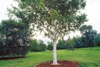 Береза корисна Жакмана<br>Betula utilis Jacquemontii<br>Береза полезная Жакмана