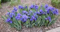 Ірис низький Блю / Касатик / Півник<br>Ирис низкий Блю /Касатик / Петушок<br>Iris humilis Blue