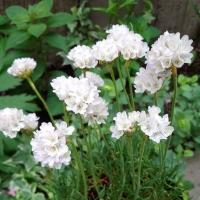 Армерія приморська Альба (біла)<br>Armeria maritima Alba<br>Армерия приморская Альба (белая)