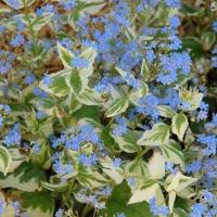 Бруннера великолиста Варієгата<br>Brunnera macrophylla Variegata<br>Бруннера крупнолистная Вариегата