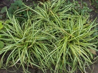 Осока птахоніжкова Варієгата<br>Carex ornithopoda Variegata<br>Осока птиценожковая Вариегата