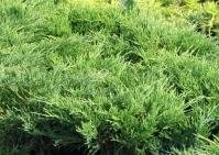 Ялівець горизонтальний Андорра Компакт <br> Можжевельник горизонтальный Андорра Компакт <br> Juniperus horizontalis Andorra Compact