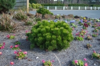 Сосна гірська Пуміліо <br> Сосна горная Пумилио <br> Pinus mugo Pumilio