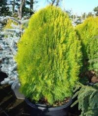 Туя східна Ауреа Нана <br>Туя восточная Ауреа Нана <br> Thuja / Platycladus orientalis Aurea Nana