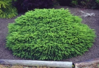 Ялина звичайна / європейська Нідіформіс <br> Ель обыкновенная / европейская Нидиформис <br> Picea abies Nidiformis