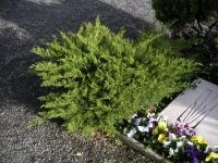 Ялівець середній / пфітцеріана Мінт Джулеп <br> Можжевельник средний / пфитцериана Минт Джулеп <br> Juniperus media / pfitzeriana Mint Julep