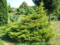 Ялівець китайський Курівао Голд <br> Можжевельник китайский Куривао Голд <br> Juniperus chinensis Kuriwao Gold