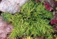 Ялівець середній Голд Кост <br> Можжевельник средний Голд Кост <br>  Juniperus media Gold Coast