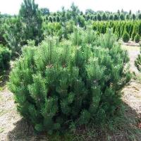 Сосна гірська Мугус <br> Сосна горная Мугус <br>  Pinus mugo Mughus