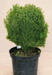 Туя західна Тедді <br> Туя западная Teдди <br> Thuja occidentalis Teddy