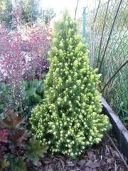Ялина канадська Рейнбоуз Енд <br> Ель канадская Рейнбоуз Энд <br>Picea glauca Rainbow's Еnd