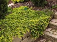 Ялівець горизонтальний Голден Карпет <br> Можжевельник горизонтальный Голден Карпет <br> Juniperus horizontalis Golden Carpet