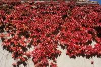 Виноград дівочий тризагострений Віча <br> Виноград девичий триостренный Вича <br> Parthenocissus tricuspidata Veitchii