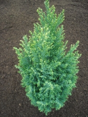 Кипарисовик лавсона Сноу Вайт<br>Chamaecyparis lawsoniana Snow White