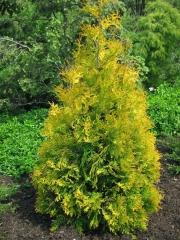 Туя західна Єллоу Ріббон <br> Туя западная Еллоу Риббон <br> Thuja occidentalis Yellow Ribbon