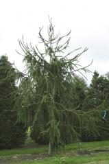 Ялина звичайна / європейська Вiргата <br>Ель обыкновенная / европейская Виргата <br>Picea abies Virgata