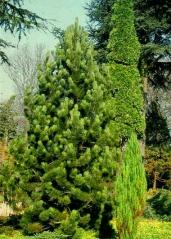 Сосна Гельдрейха / бiлокора Компакт Джем<br>Сосна Гельдрейха / белокорая Компакт Джем<br>Pinus heldreichii / leucodermis Compact Gem