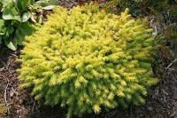 Ялина звичайна / європейська Вермонт Голд <br>Ель обыкновенная / европейская Вермонт Голд <br>Picea abies Vermont Gold