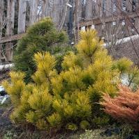 Сосна горная Голден Глоу <br>Сосна гiрська Голден Глоу<br>Pinus mugo Golden Glow