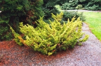 Ялівець китайський Плюмоза Аурея/Ауреа <br> Можжевельник китайский Плюмоза Аурея/Ауреа <br> Juniperus chinensis Plumosa Aurea