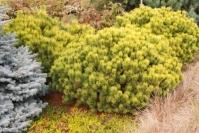 Сосна гірська Офір <br> Сосна горная Офир <br> Pinus mugo Ophir