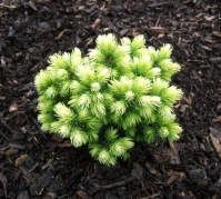Ялина канадська Ялако Голд <br>Ель канадская Ялако Голд <br>Picea glauca Jalako Gold