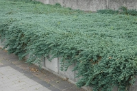 Ялівець горизонтальный Айс Блю®  Монбер® <br> Можжевельник горизонтальный Айс Блю® / Монбер® <br>Juniperus horizontalis Icee Blue® / Monber®