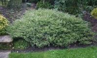 Ялівець горизонтальний Варієгата <br> Можжевельник горизонтальный Вариегата <br> Juniperus horizontalis Variegata