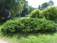 Ялівець козацький <br> Можжевельник казацкий <br> Juniperus sabina