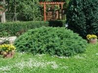 Ялівець козацький Блю Спаркл / Блю Спакл <br> Можжевельник казацкий Блю Спаркл / Блю Спакл <br> Juniperus sabina Blue Sparkle