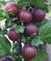Агрус Чорномор (пізній) <br>Крыжовник Черномор (поздний) <br>Ribes uva-crispa Chernomor