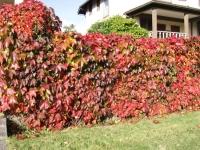Виноград дівочий п`ятилисточковий Енгельмана / Партеноциссус <br> Виноград девичий пятилисточковый Энгельмана / Партеноциссус <br>Parthenocissus quinquefolia varieties Еngelmannii