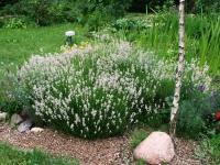 Лаванда вузьколиста Альба <br> Лаванда узколистная Альба <br> Lavandula angustifolia Alba